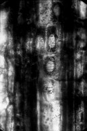 FAMILY? Clarno Nut Beds Xylotype I-B 3