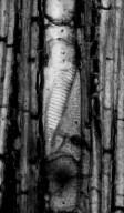 ACHARIACEAE? cf. Hydnocarpoxylon sp.