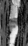 LEGUMINOSAE CAESALPINIOIDEAE Mimosoid Clade Dichrostachyoxylon herendeenii