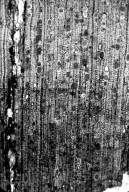 FAMILY? Nut Beds Xylotype III-C-ii 3. Narrow Ray 2
