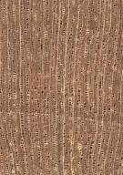 RUBIACEAE Rondeletia buddlejoides