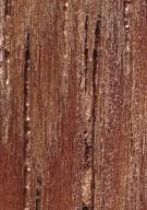 CHRYSOBALANACEAE Licania macrophylla
