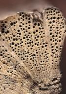 DICHAPETALACEAE Dichapetalum pedunculatum