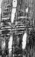 MALVACEAE FOSSIL Chattawaya paliforme