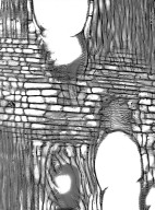 RUTACEAE Ptelea trifoliata baldwinii
