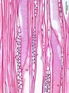 ARALIACEAE Panax elegans