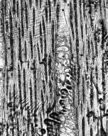 CHRYSOBALANACEAE Maranthes floribunda