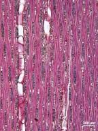 MORACEAE Trophis racemosa