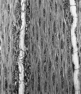 COMBRETACEAE Pteleopsis diptera
