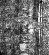 COMBRETACEAE Terminalia mollis