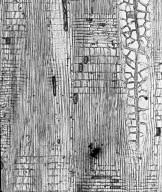 EUPHORBIACEAE Tetrorchidium congolense
