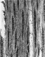 ANNONACEAE Xylopia parviflora