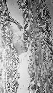 COMBRETACEAE Terminalia avicennioides