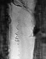 ANNONACEAE Oxandra xylopioides