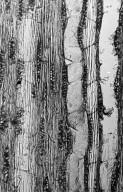 BURSERACEAE Dacryodes kukachkana