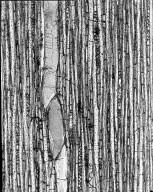 APOCYNACEAE Macoubea guianensis