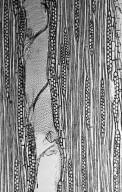 LAURACEAE Rhodostemonodaphne grandis