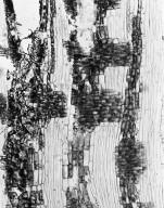 LEGUMINOSAE CAESALPINIOIDEAE Dicorynia guianensis