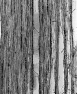 ANACARDIACEAE Sorindeia juglandifolia