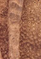 LEGUMINOSAE MIMOSOIDEAE Pithecellobium dulce