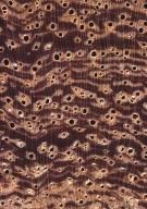 LEGUMINOSAE CAESALPINIOIDEAE Mimosoid Clade Inga jenmanii