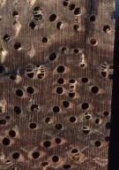 LEGUMINOSAE MIMOSOIDEAE Cedrelinga cateniformis