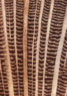 PROTEACEAE Roupala cataractarum