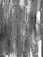 LEGUMINOSAE CAESALPINIOIDEAE Caesalpinia platyloba