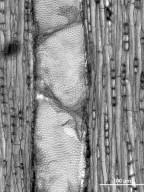 EUPHORBIACEAE Alchornea latifolia