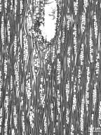 ANACARDIACEAE Anacardium excelsum