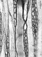 NYSSACEAE Nyssa sylvatica biflora