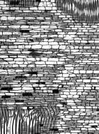ANNONACEAE Guatteria slateri