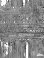 ANACARDIACEAE Pistacia palaestina