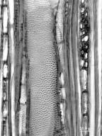 EUPHORBIACEAE Croton nitens