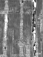 COMBRETACEAE Conocarpus erectus