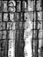 HAMAMELIDACEAE Loropetalum chinense