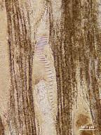 PLATANACEAE? Plataninium platanoides