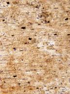 PLATANACEAE? Plataninium californicum