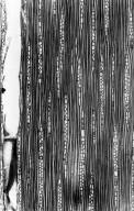 LEGUMINOSAE DETARIOIDEAE Eperua grandiflora