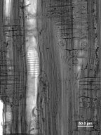 HAMAMELIDACEAE Sinowilsonia henryi