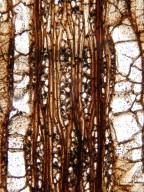 MALVACEAE FOSSIL Javelinoxylon multiporosum