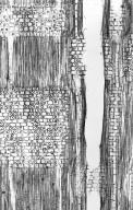 CHRYSOBALANACEAE Licania alba