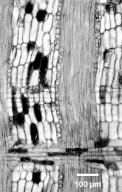 LEGUMINOSAE PAPILIONOIDEAE Clathrotropis brachypetala
