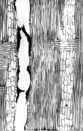 LEGUMINOSAE CAESALPINIOIDEAE Peltogyne venosa