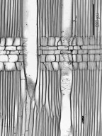 ARALIACEAE Schefflera longipedicellata