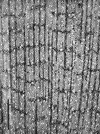 CELASTRACEAE Cassine glauca