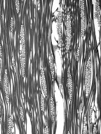 ARALIACEAE Cheirodendron trigynum trigynum