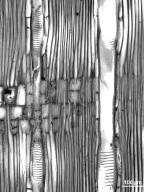 SABIACEAE Meliosma yunnanensis