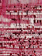SABIACEAE Meliosma pinnata ferruginea