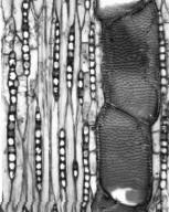 LEGUMINOSAE PAPILIONOIDEAE Pterocarpus rohrii